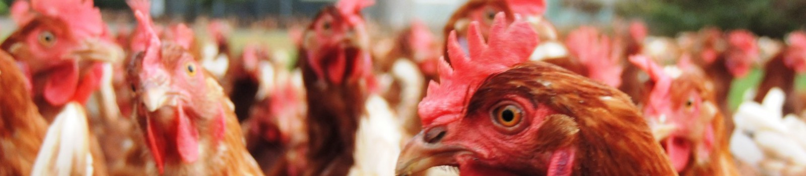 Close-upfoto van de biologische kippen .