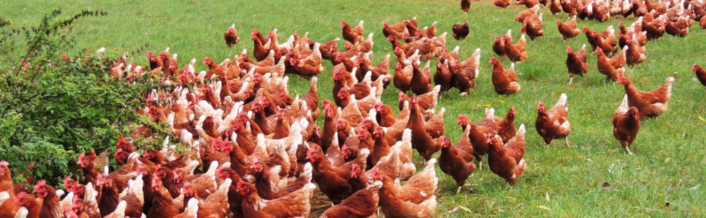 Biologische kippen in de wei