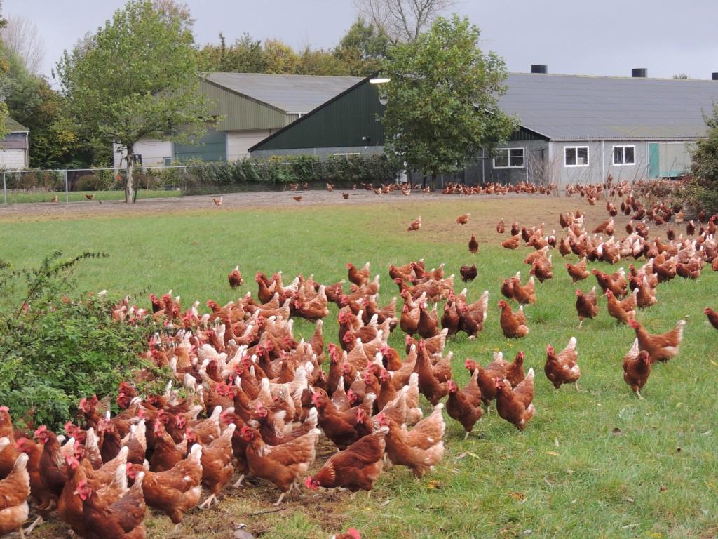 Veel ruimte voor de kippen in de wei bij Tok Tok de Dobbelaere